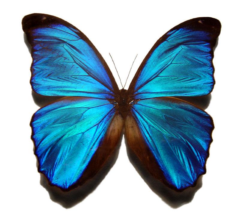 wpid-blue_morpho_butterfly-2011-03-7-08-14.jpg