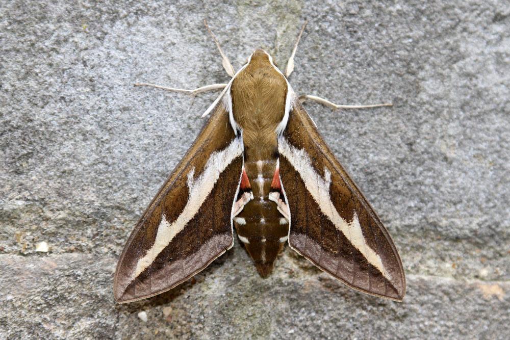 wpid-bedstraw-hawk-moth-9642-small-2011-06-4-14-26.jpg